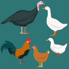 Poultry vector illustration. Domestic birds set. Turkey, chicken, rooster, duck, goose.