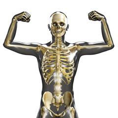 3d medical male skeleton