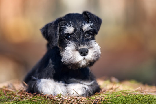 adorable miniature schnauzer puppy lying down