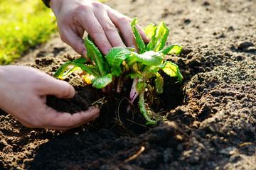 Man transplanting a small plant