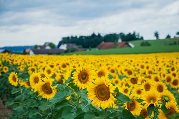 Sunflower field. Switzerland