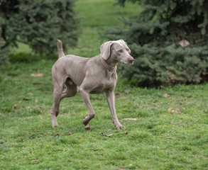 Weimaraner Dog running outside