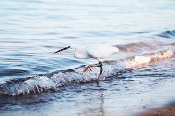 White egret a the sea shore
