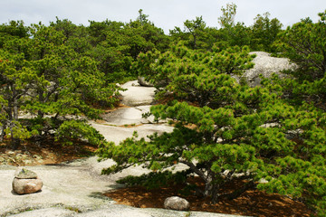 Low pine trees growing over the huge lightly covered boulders.