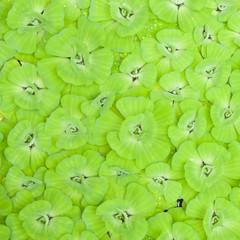 Green pistia stratiotes background