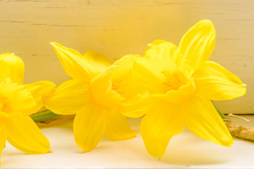Daffodil flowers in indoor environment