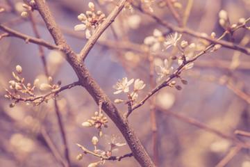 Cherry blossom in the springtime