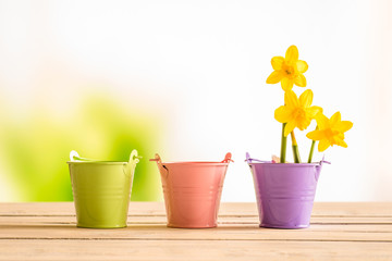 Flowerpots with yellow daffodils