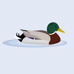 Mallard, Wild Duck, vector illustration