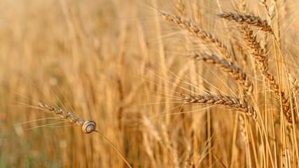 Wall Mural - Buğday ve salyangoz