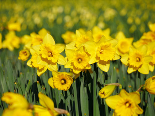 Lovely yellow daffodil flowers blooming in the spring.