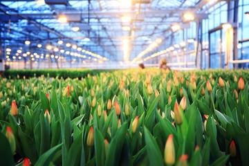 Fototapeta Plantation of tulips in a greenhouse Agribusiness obraz