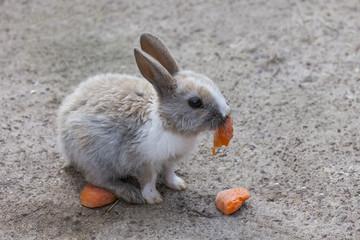 Cottontail bunny rabbit eating carrot