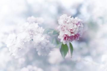 Spring sakura blossoms.