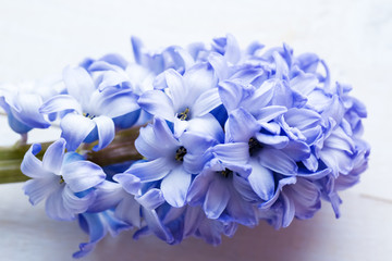 Fresh blue flowers hyacinths in ray of light on white painted wooden background. Selective focus. Place for text.