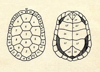 Shell of European pond turtle (Emys orbicularis)