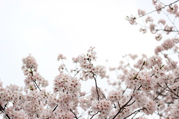 日本の春の風景 桜の花