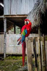 Beautiful old wild parrot sitting on edge of house in Amazon jungle Ecuador
