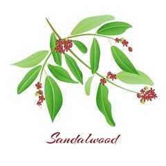 Sandalwood tree branch.