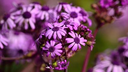 May wildflowers in full splendor, pericallis webbii, Canary islands