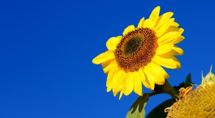 Sunflower close-up against dark blue sky