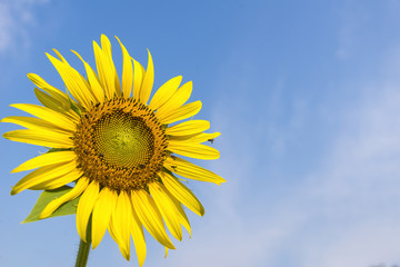 the sunflower in the farm with the blue sky