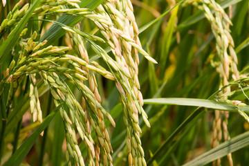 ear of rice in rice field