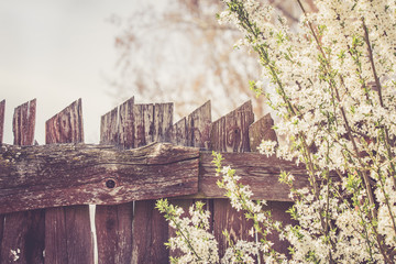 Vintage fence with blooming tree