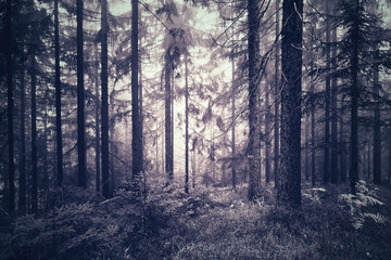 Spooky blue pink color foggy light in conifer trees forest.