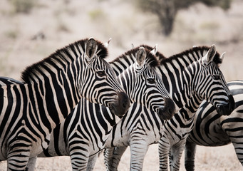 Starring Zebras in the Kruger National Park, South Africa.