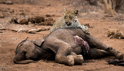 Leopard feeding on an Elephant carcass in the Kruger National Park, South Africa.