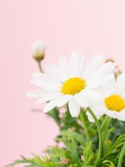 白いマーガレット ピンク背景