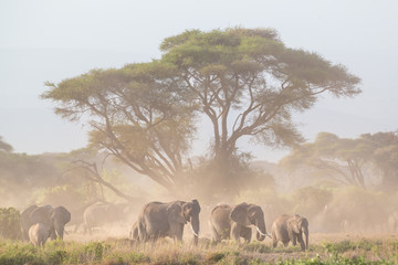 Elephant herd in Amboseli national park in Kenya., Africa.