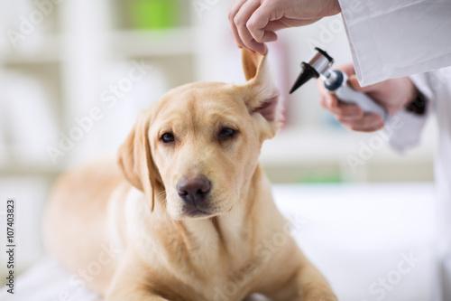 dog ear infection symptoms - HD5760×3840