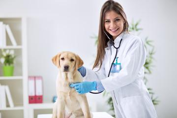 Lady veterinary examining the dog