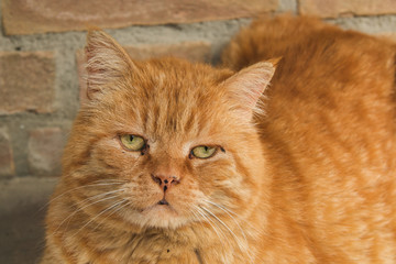 Ritratto di un gatto rosso abbandonato e triste