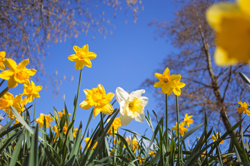 Wild Spring Meadow with Narcissus Flowers Against Blue Sky Background and Blurred Tree Branches