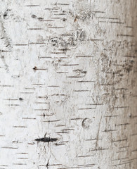 Wall Mural - close up shot of birch bark great as background