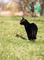 black cat walking in spring garden