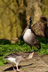 Canada Goose vs Greylag Goose