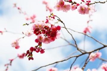 Hanami - Kirschblüte, Kirschbaum blüht mit rosa Blüten im Frühling