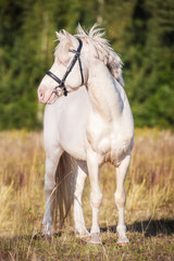 Fototapete - Beautiful albino horse with blue eyes standing on the pasture in summer