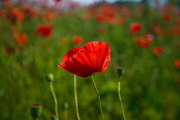 Red poppy on the green background
