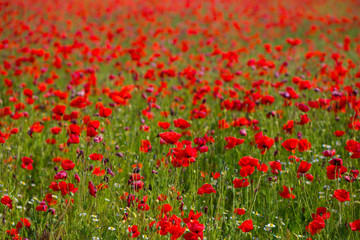 Field full of the red poppies in the sunny weather