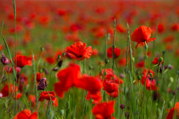 Beautiful red poppies in the field