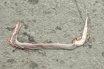 dead snake on the road by car