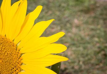 Beautiful sunflower blooming on the huge garden