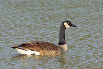 Canadian Goose Swimming in pond Neck extended