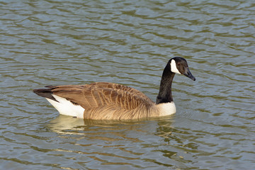 Solitary Canadian Goose swimming right as it turns toward the ca
