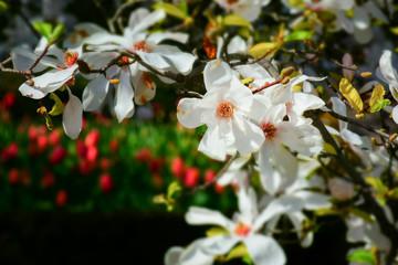 macro detail of a white magnolia